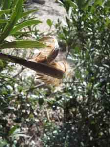 Oleander Seed