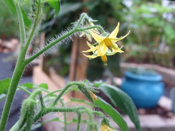 Tomatoe Bloom