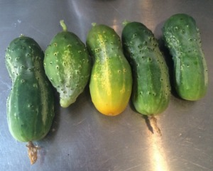 This image comes from Tumblr, not my own camera, but that stubby little cucumber second from the left is pretty much exactly what mine were looking like.  I didn't get any good pictures.